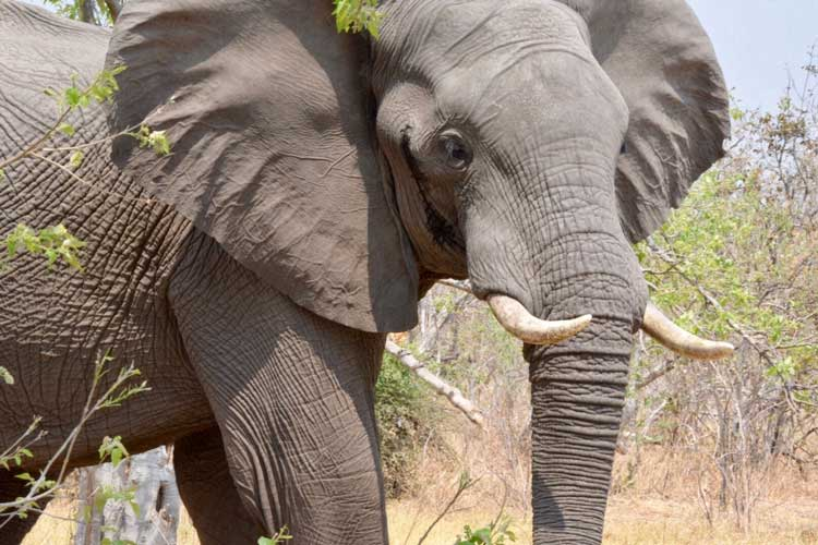 Adventures in Gratitude - Southern Africa - Chobe - Botswana - Elephants