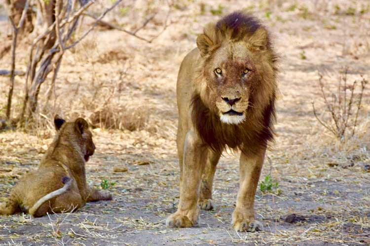 Adventures in Gratitude - Southern Africa - Botswana - Lions