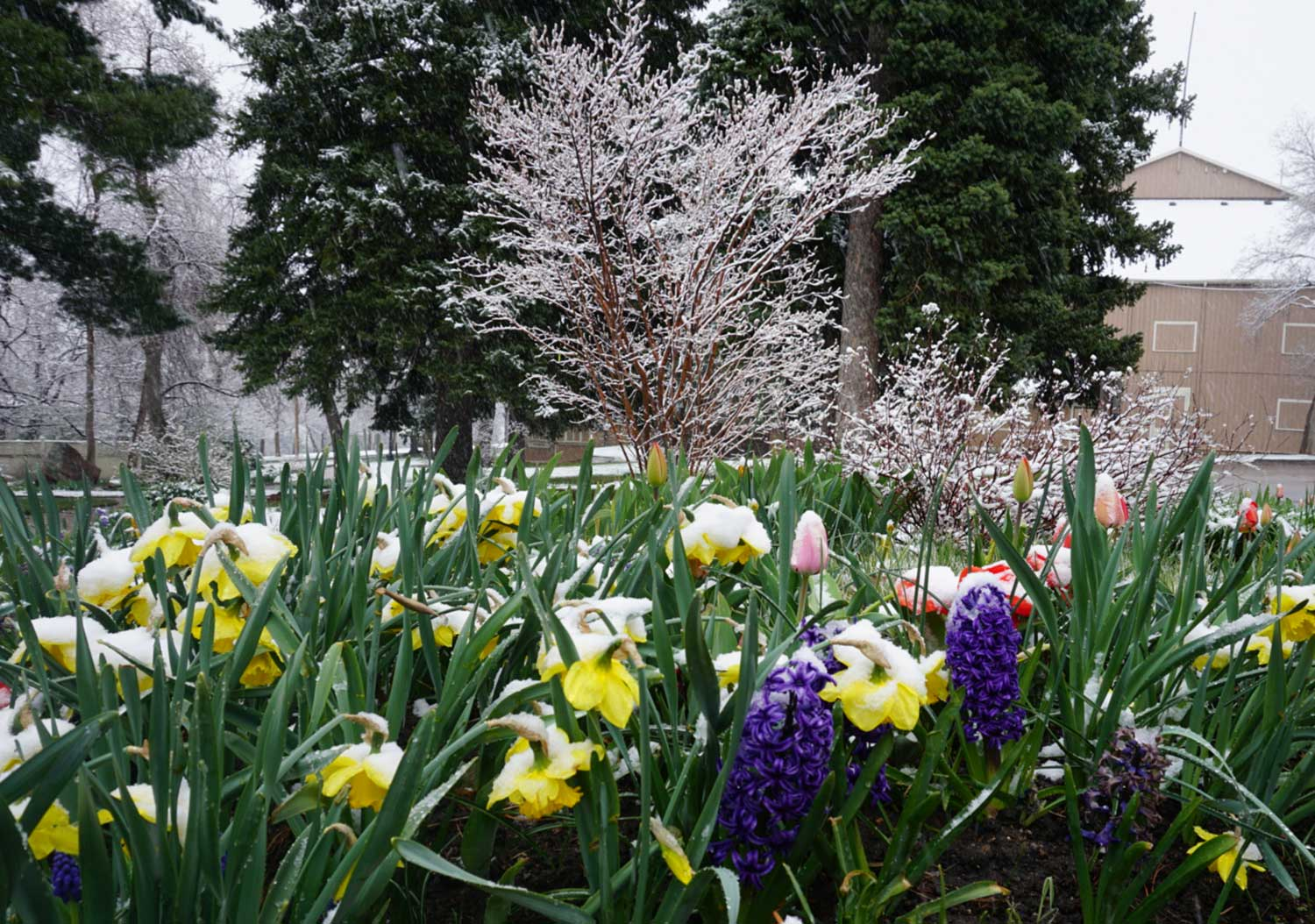 Enjoying snow covered flowers in Boulder with kids