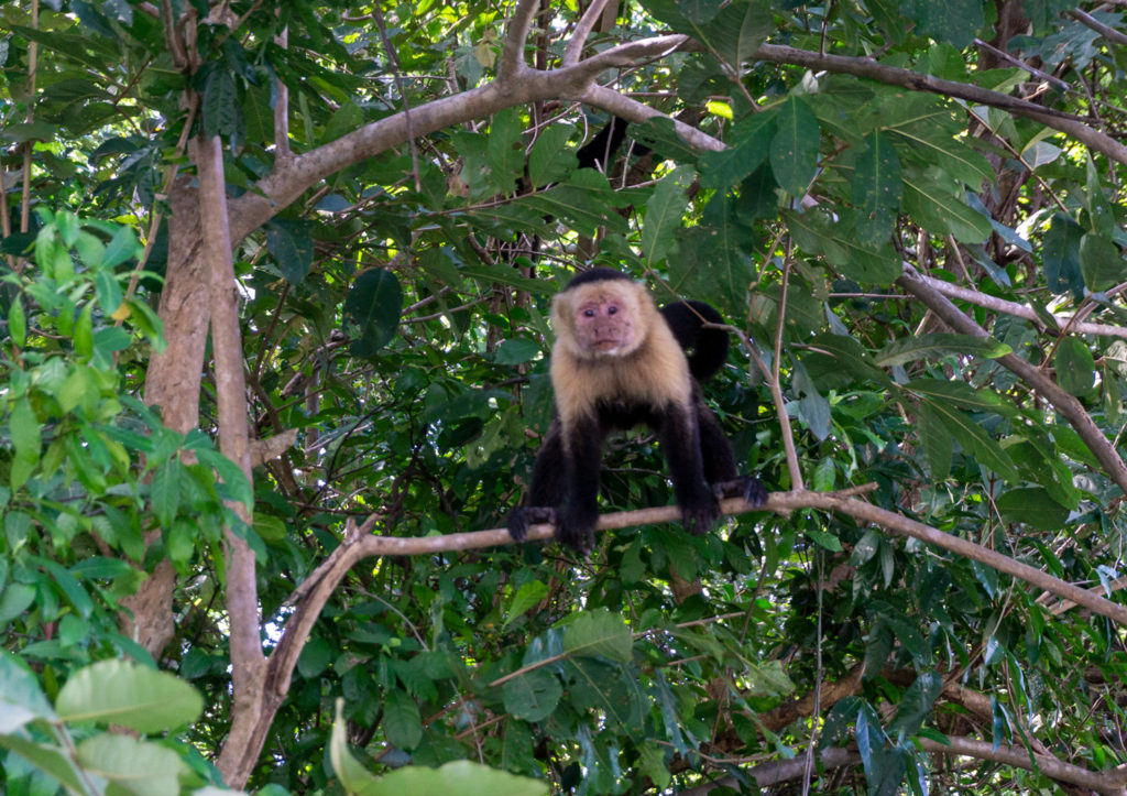 Howler Monkey at Palo Verde National Park