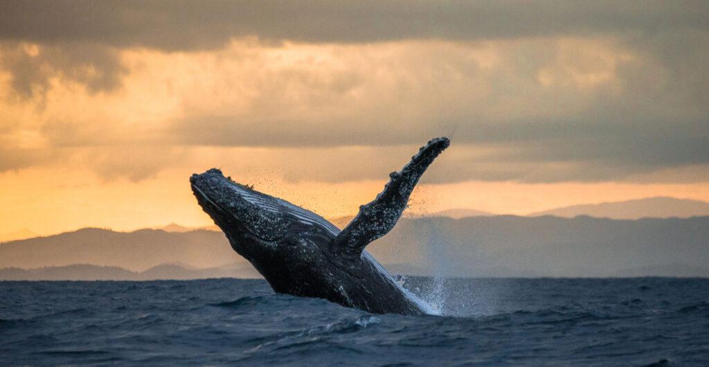 humpback whale on a hawaii whale watching cruise