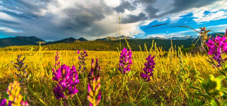 colorado wildflowers framing a majestic mountain view